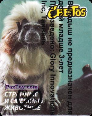 PaxToy.com - 06 Эдипов тамарин из Cheetos: Странные и Смешные Животные