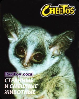 PaxToy.com - 21 Галаго сенегальский из Cheetos: Странные и Смешные Животные