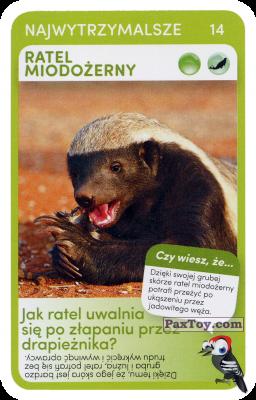 PaxToy.com - 14 Ratel Miodozerny из Biedronka: Super zwierzaki