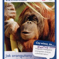 PaxToy 37 Bornean Orangutan