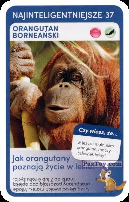 PaxToy.com - 37 Bornean Orangutan из Biedronka: Super zwierzaki